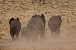 Elefant africà / Elefante africano / Elephant (Loxodonta africana)