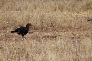 Calau terrestre del sud / Cálao terrícola / Southern Ground-hornbill (Bucorvus leadbeateri)