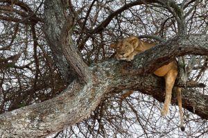 Lleona descansant sobre un arbre / Leona descansando sobre un árbol / Lioness resting on a tree
