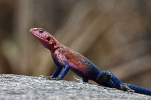 Agama (mascle / macho /male)
