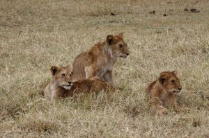 3 cadells afamats / 3 cachorros hambrientos / 3 hungry cubs (Panthera Leo)