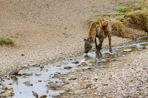 Hiena tacada o hiena riallera / Hiena manchada o moteada / Spotted Hyaena (Crocuta crocuta)