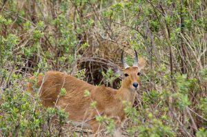 / Redunca bohor / Redunca bohor, antílope bohor o ciervo cabra redunca /Bohor Redbuck (Redunca redunca)