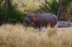 Hipopòtam / Hipopótamo común / Hippopotamus (Hippopotamus amphibius)