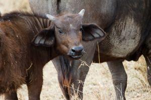 Jove búfal africà / Joven búfalo africano / Young African Buffalo (Syncerus caffer caffer)