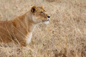 Lleona / Leona / Lioness (Panthera leo)