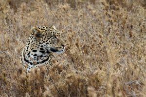 Lleopard / Leopardo / Leopard (Panthera pardus)