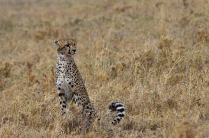 Guepard / Guepardo / Cheetah (Acinonyx jubatus)