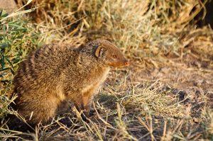 Mangosta ratllada / Mangosta rayada / Banded Mongoose (Mungos mungo)