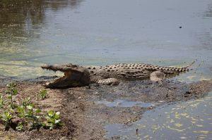 Cocodril del Nil / Cocodrilo del Nilo / Nile Cocodrile (Crocodylus niloticus)