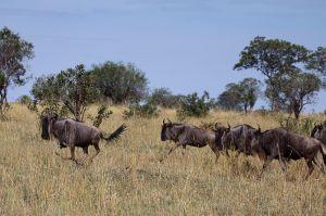 Nyu blau / Ñu azul, listado o gorgón / Brindled Gnu - Blue Wildebeest (Connochaetes taurinus)