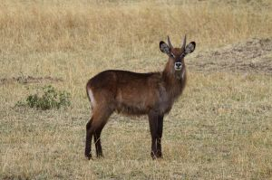 Antlop aqutic jove / Antlope acutico joven / Young Waterbuck (Kobus ellipsiprymmus)