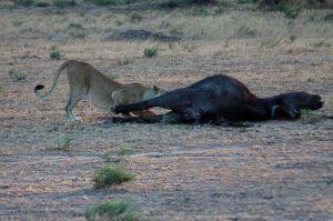 L'hora del sopar / la hora de la cena / Dinner's time (Panthera leo &  Syncerus caffer caffer)