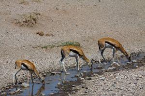 Gasela de front vermell / Gacela de frente roja / Thompson Gazelle (Gazella rufifrons)
