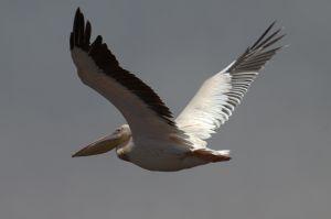 Pelicà rosat / Pelícano rosado / Pink-backed Pelican (Pelecanus rufescens)