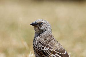 / Tejedor de Cola Rufa / Rufous-Tailed Weaver (Histurgops ruficaudus)