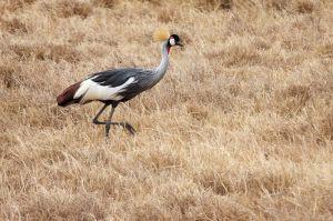 Grua coronada de coll gris / Grulla real gris / Grey Crowned Crane (Balearica regulorum)
