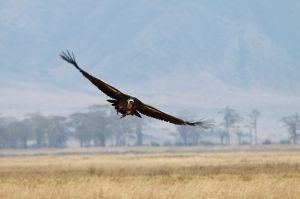 Voltor de Rüppell / Buitre moteado / Ruppell's Griffon Vulture