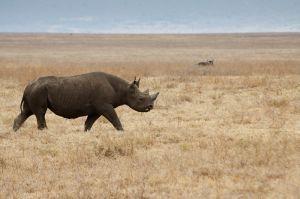 Rinoceront negre / Rinoceronte negro o de labio ganchudo / Black Rhinoceros (Diceros bicornis)