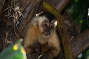 Caputxí de cap negre / Capuchino de cabeza negra / Black-capped Capuchin (Cebus apella)