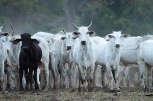 Ramats a Pouso Alegre / Ganado en Pouso Alegre / Pouso Alegre's cows