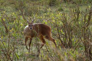 Mazama mexicà / Corzuela americana / Red-brocket Deer (Mazama americana)