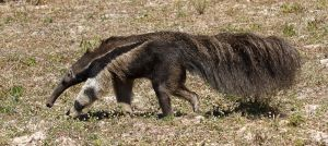 Ós formiguer gegant / Oso hormiguero gigante / Giant Anteater (Myrmecophaga tridactyla)