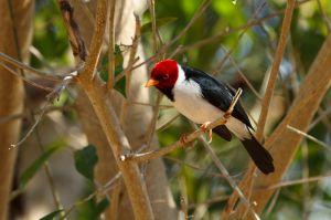 / Cardenal de pico amarillo / Yellow-billed Cardinal (Paroaria capitata)