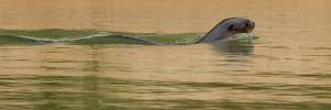 Nutria gegant de riu / Nutria gigante / Giant Otter (Pteronura brasilensis)