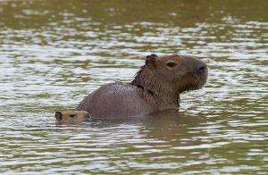 Capibara / Capybara (Hydrochoeris hydroacheris)