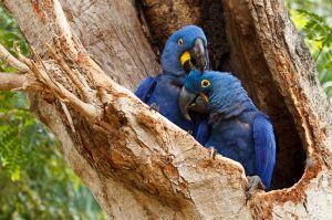 Guacamai jacint / Jacinto / Hyacinth Macaw (Anodorhynchus hyacinthinus)