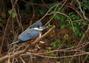 Blauet gegant / Martín pescador grande/ Ringed Kingfisher (Megaceryle torquata)