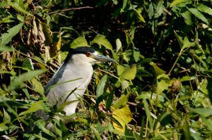 Martinet de nit / Martinete Común / Black-crowned Night-heron (Nycticorax nycticorax)