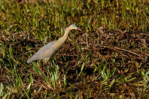 Agró xiulaire / Garza silvadora / Whistling Heron (Syrigma sibilatrix)