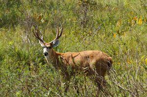 Cérvol dels pantans / Ciervo de los pantanos / Marsh Deer (Blastoceros dichotomus)