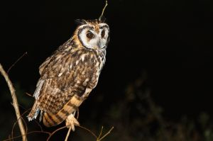 / Búho Gritón / Striped Owl (Pseudoscops clamator)
