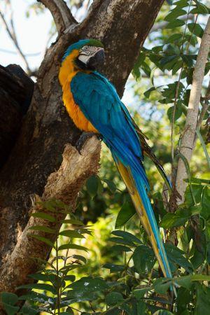 Guacamai blau i groc / Guacamayo azul y amarillo / Blue-and-Yellow Macaw (Ara ararauna)