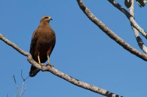 / Gavilán cangrejero colorado o Busardo sabanero / Savanna Hawk ( Heterospizias meridionalis)