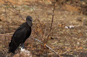 Urubú o Zopilot / Buitre negro americano / Black vulture (Coragyps atratus)