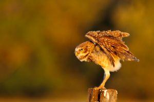 / / Burrowing Owl (Athene cunicularia)