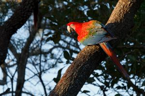 / Guacamayo aliverde / Red-and-Green Macaw (Ara chloropterus)