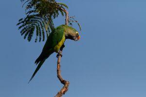 Aratinga de cap daurat / Aratinga frentidorada / Peach-Fronted Parakeet (Aratinga aurea)