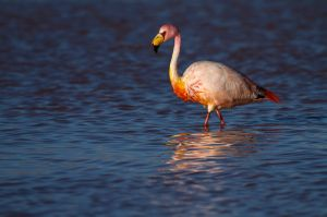 Flamenc de James / Flamenco de James / James's Flamingo (Phoenicoparrus jamesi)