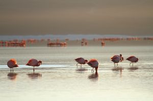 Flamencs de James / Flamencos de James / James's Flamingoes (Phoenicoparrus jamesi)