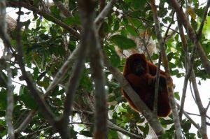 / Mono Aullador Rojo / Red Howler Monkey (Alouatta seniculus)