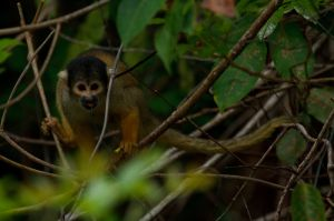 Mico Esquirol / Mono Ardilla / Common Squirrel Monkey (Saimiri sciureus)
