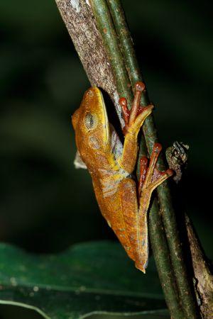 Granota / Rana / Frog