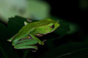 Giant Leaf Frog (Phyllomedusa bicolor)