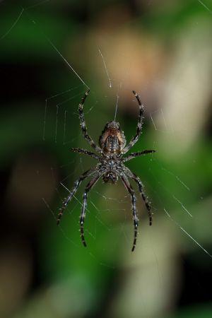Aranya / Araña / Spyder