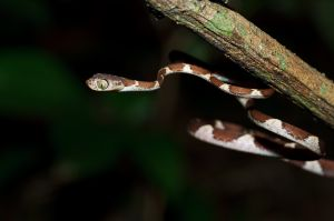 Common Blunthead Tree Snake